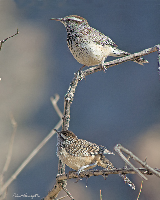 Cactus Wren (adult and juvenile)