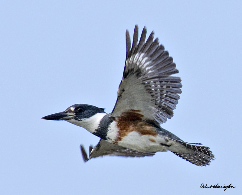 Belted Kingfisher (f)